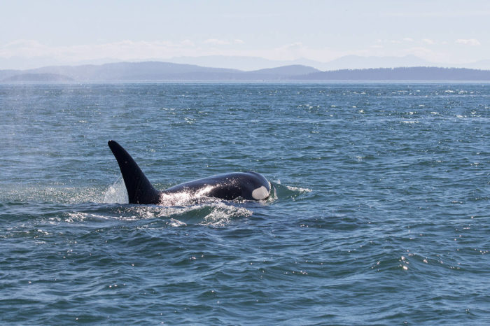 Orca in Salish Sea