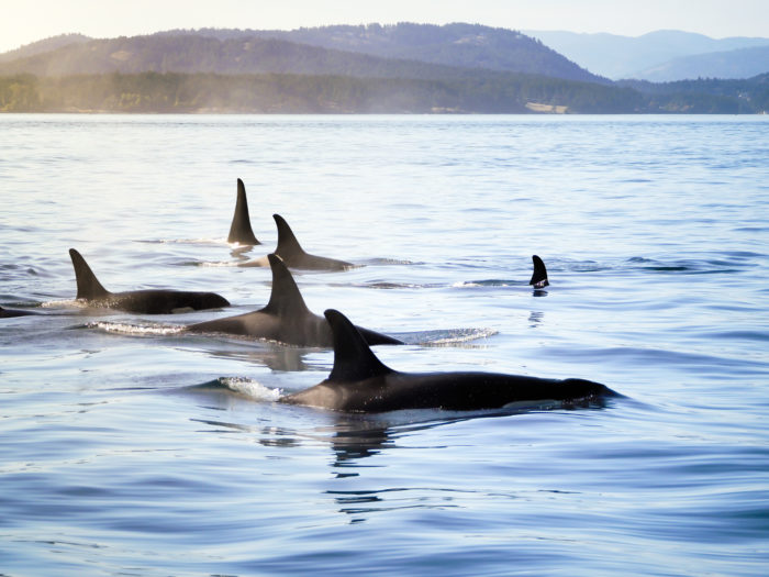 Orcas Whales Salish Sea