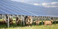 sheep solar